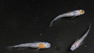 大崎三色 写真同腹から出た若魚2020タイプ 20匹